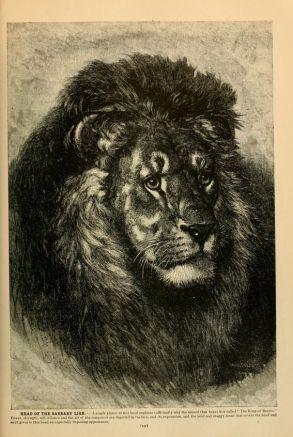 """""""Löwen"""", Brehm, Tiersleben, 1925-1927."""